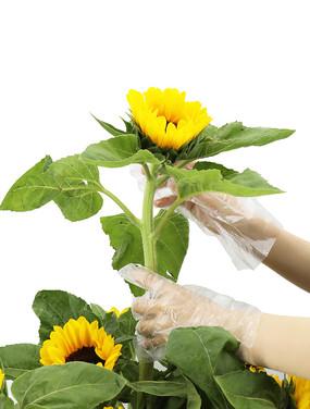 向日葵插花艺术摄影