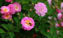 花朵上的蜜蜂