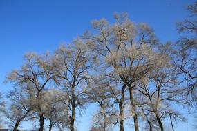 蓝天下无叶树林