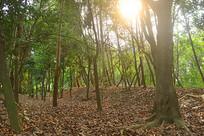 自然风景-夕阳下的树林和落叶
