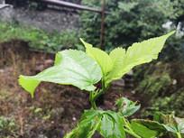 绿色桑芽菜拍摄