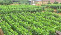 成都龙泉驿水果基地-葡萄种植园
