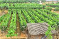 成都市龙泉驿葡萄种植基地