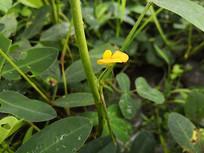 开着黄色花朵的花生苗