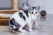 口中叼球美短高白幼猫