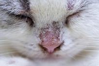 美短幼猫3月龄鼻子奶藓特写