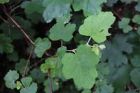 小小的川莓叶子