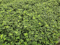 一大片绿色的花生苗