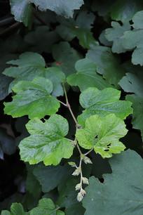 一株川莓叶子