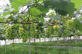 生态葡萄园