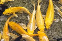 自由游动的金色锦鲤