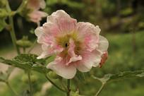 粉白蜀葵花