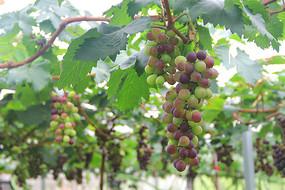 果园玫瑰香葡萄