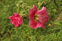 红色蜀葵花