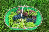 阳光草地鲜葡萄