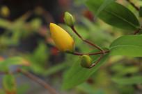 金丝桃花苞