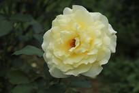 浅黄色月季花