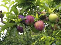 李子树果子