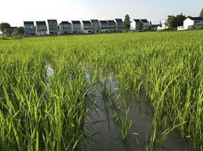 水稻田乡村