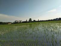 傍晚水稻田