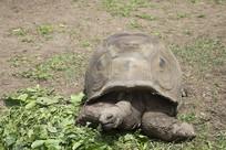 毛里求斯的巨大乌龟