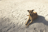 沙滩上的狗