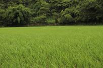 大片水稻风光