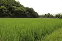 绿色水稻风光