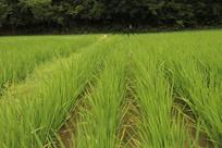 整齐的水稻风光