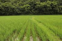 整齐水稻风光