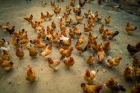 养鸡场一群鸡