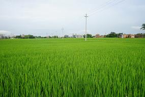 农作物稻子