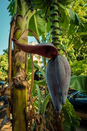 芭蕉树结的果实