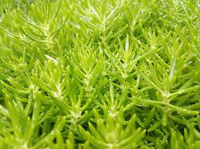 嫩绿绿叶草