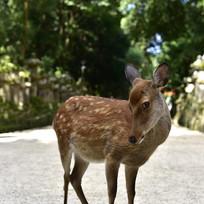 日本奈良小鹿