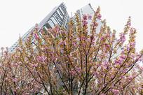 仰拍日本重瓣樱花