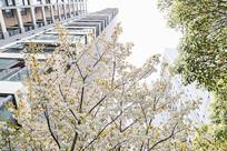 仰拍白色重瓣樱花