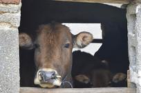一脸无奈的牛