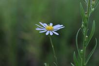 盛开的野白菊