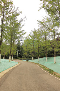 施工中的银杏树路