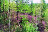 大兴安岭森林野花盛开