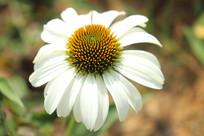 白色松果菊