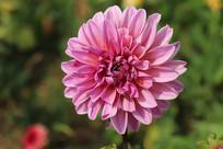 粉色天竺牡丹