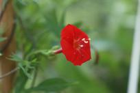 红色的葵叶茑萝