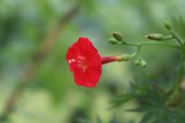 实拍葵叶茑萝