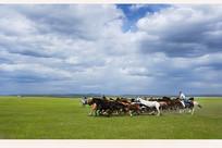 草原上传统的套马杆活动