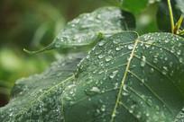 绿色背景菩提树