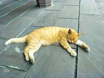 躺在地下睡觉的胖橘猫