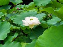 一朵盆栽的白荷花