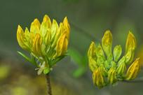 观赏药用植物花卉羊踟蹰花蕾